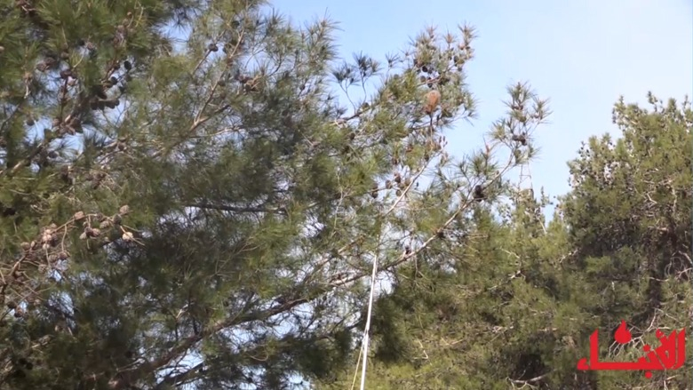 #فيديو_الأنباء: دودة الصندل تغزو الأحراج... وجنبلاط يكافحها على نفقته