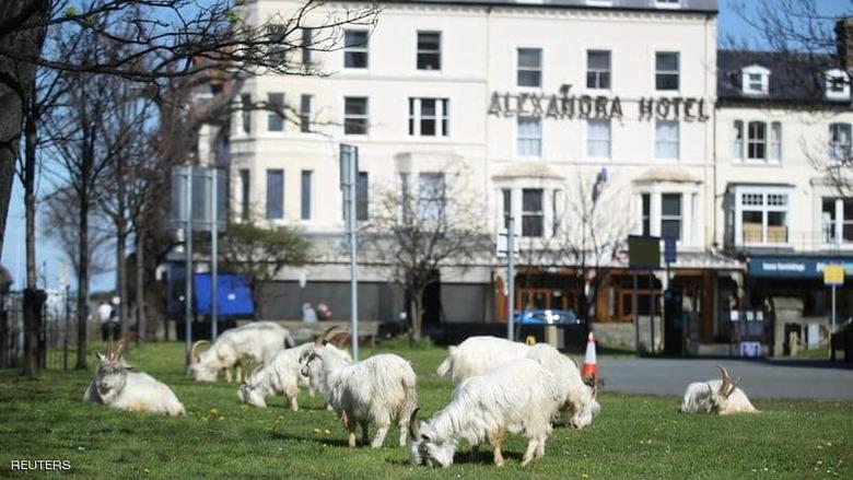 الماعز البري يخرق قرارات منع التنقل في بريطانيا