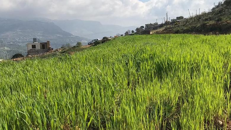 زراعة القمح في الشوف...خطوة في تعزيز الصمود الإجتماعي