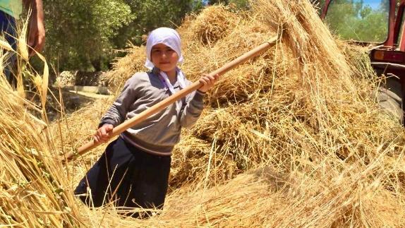 حصاد القمح حكاية الماضي والمستقبل