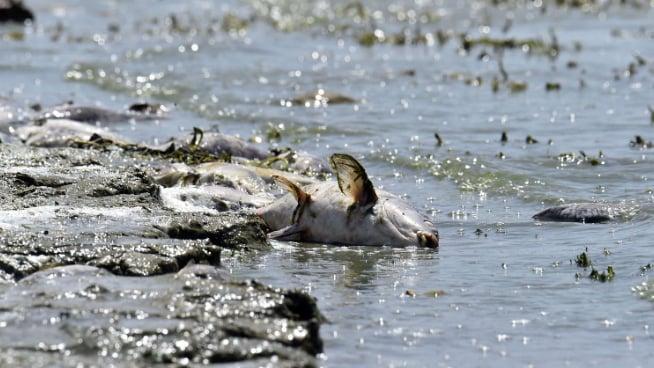 """بعد كارثة نفوق الأسماك في القرعون.. ما صحة دخول سمك """"الكارب"""" الى الأسواق؟"""